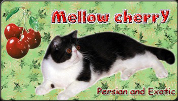 Mellowcherry cattery - Persian and Exotic